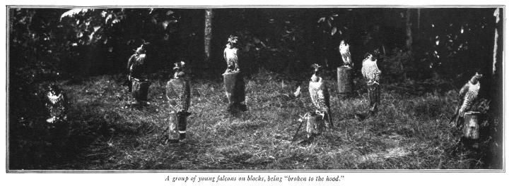 A group of young falcons on blocks - Vanity Fair in October 1914